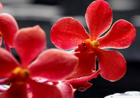 Photograph of red orchids
