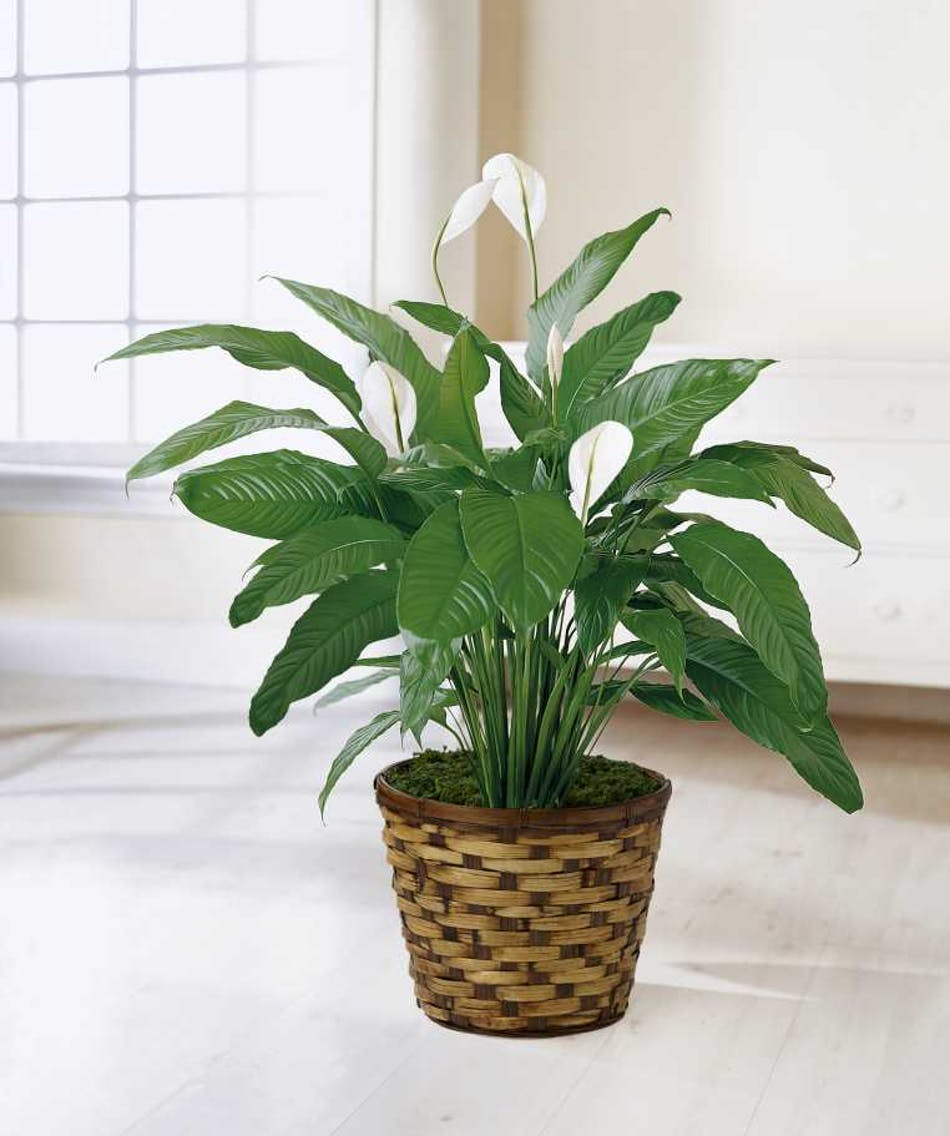 Spathiphyllum Peace Lily An Ideal Gift For Almost Any Occasion